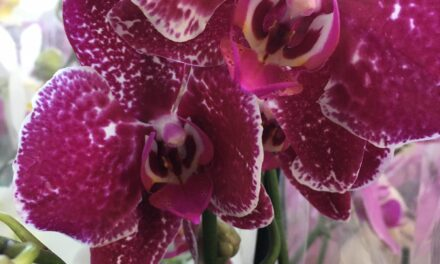 L-Orkidea – Roxanne Gauci Taliana