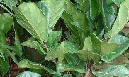 Il-pjanta Ficus Lyrata – Roxanne Gauci Taliana