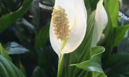 Il-pjanta Spathiphyllum – Roxanne Gauci Taliana