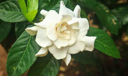 Il-Pjanta Gardenia – X'għandha partikolari u kif tista' tieħu ħsiebha?