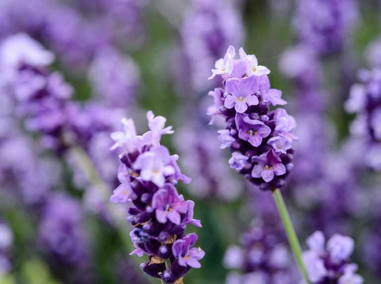 Għaliex għandu jkollok pjanta tal-Lavender fid-dar tiegħek?